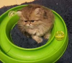 avaiable-Shaded-Golden-Persian-Kitten-Male