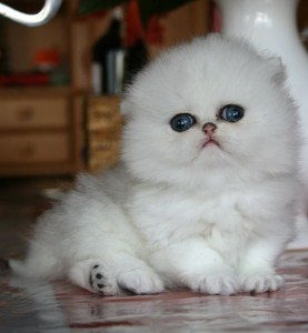 shaded-silver-Persian-Cat-Female_Breeder
