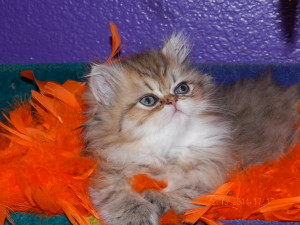 avaiable-shaded-golden-Persian-kitten-for-sale