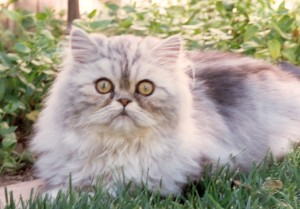 george-copper-eyed-silver-persian-cat-male