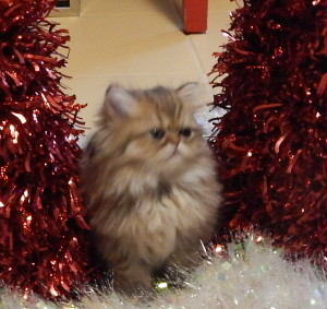 available-shaded-golden-persian-male-kitten-for-sale