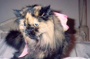 samantha-tortoise-shell-persian-cat-female