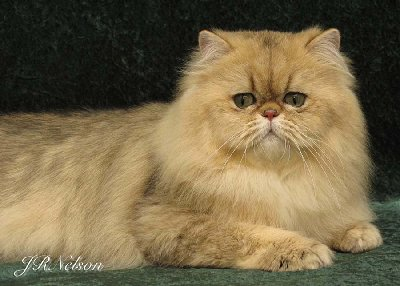 Shaded-Golden-Champion-Persian-Cat-Sire-to-Sara-Mischief
