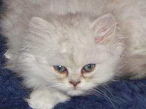 Shaded_Silver_Persian_Kitten_9_weeks_2014_10_23