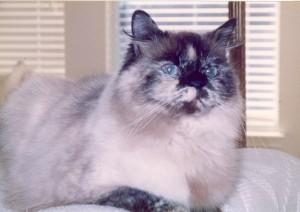 victoria-blue-eyed-himalayan-persian