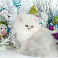 young-shaded-silver-persian-cat-male-breeder
