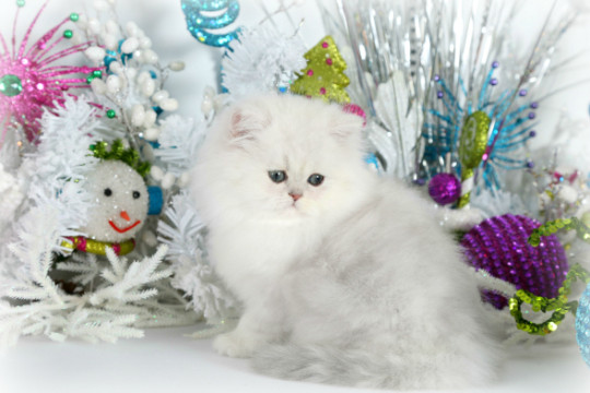 Persian Kittens: D..
