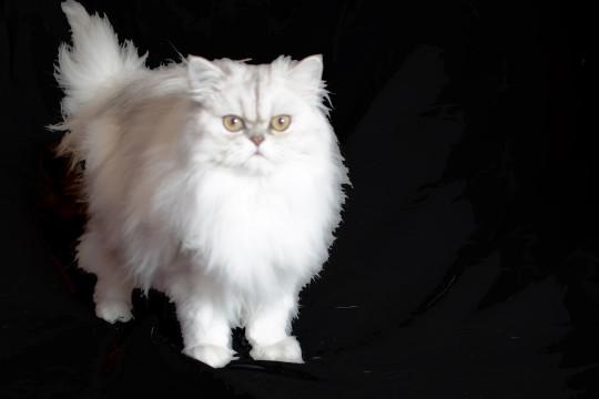 Silver Persian Cat..