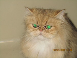 shaded-golden-persian-cat-female