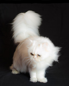 shaded-silver-Persian-cat-female-breeder
