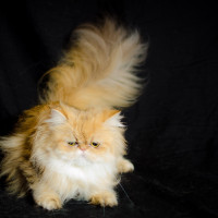 shaded-golden-persian-catfemale-breeder