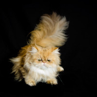 shaded-golden-persian-cat-female-breeder