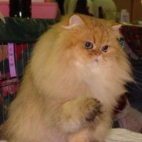 shaded-golden-persian-cat-male-breeder=retired