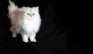 Darius II-Shaded Silver Persian male Cat Breeder