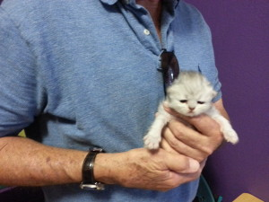 shaded-silver-male-kitten-at-2-weeks