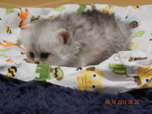shaded-silver-Persian-male-kitten