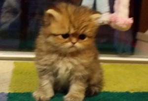 shaded-golden-Persian-female-kitten-for-sell-Christmas