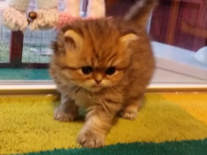 shaded-golden-Persian-kitten-available-for-sell-Christmas