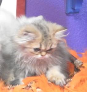 shaded-golden-persian-kitten