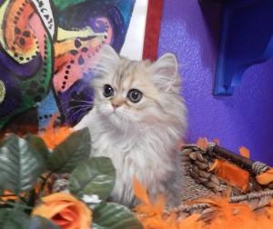 shaded-golded-persian-kitten