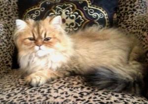 shaded-golden-male-Persian-kitten