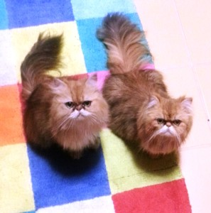 shaded-golden-Perisan-female-cats