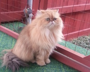 shaded_golden_Persian_female