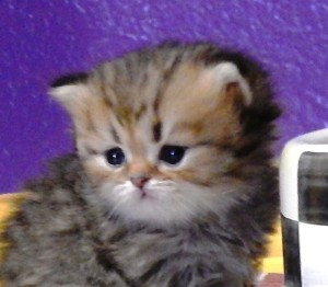 shaded-golden-male-kitten