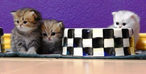 silver-persian-kitten-golden-persian-kitten