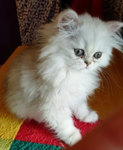 silver-persian-kitten