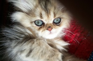 green-eyed-shaded-golden-Persian