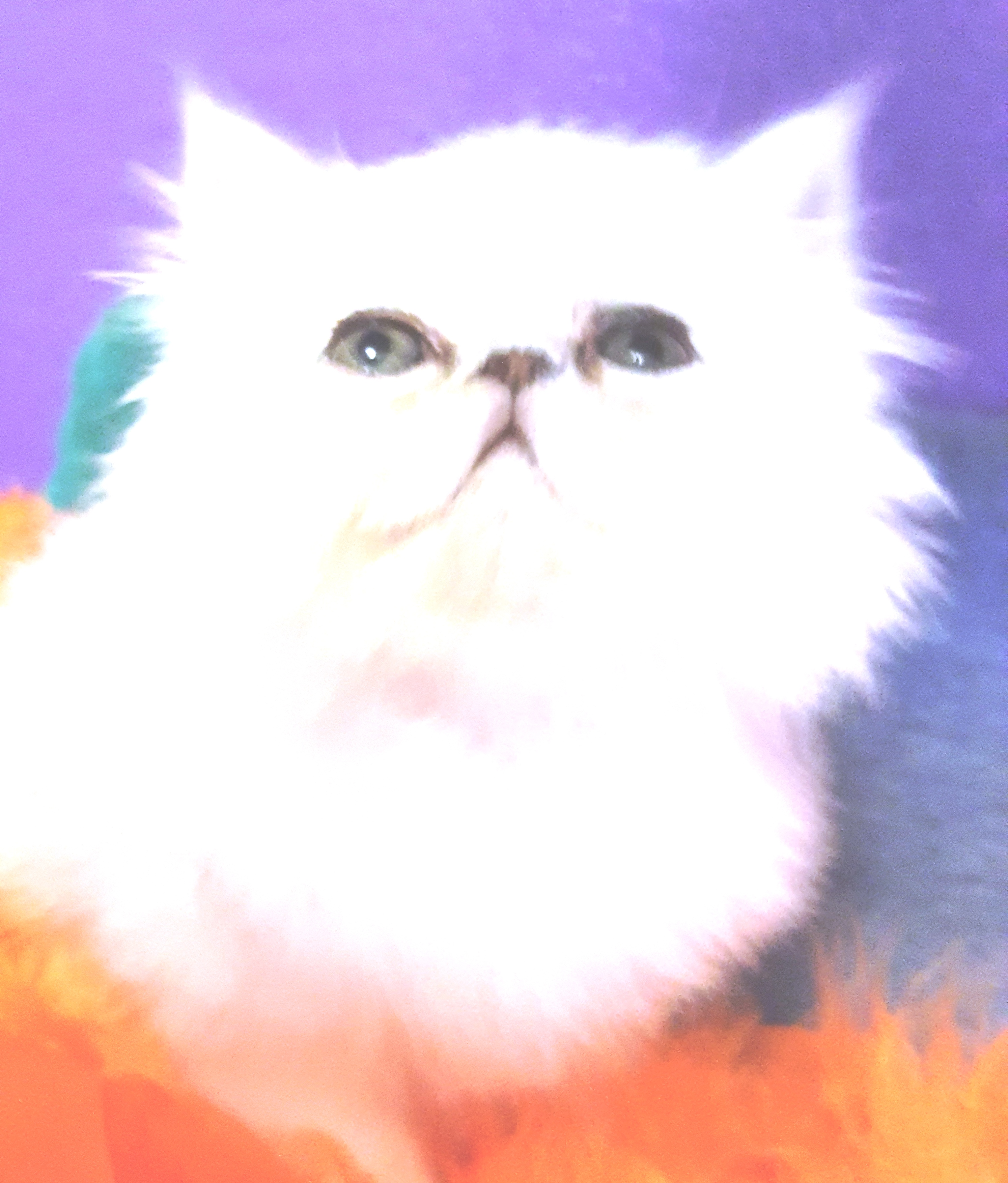2017 Gold & Silver Persian Cats & Kittens