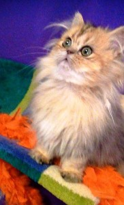 shaded-golden-Persian-kitten-at-4-months