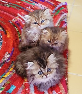 golden-persian-kittens