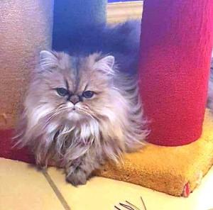 golden-persian-cat-kitten