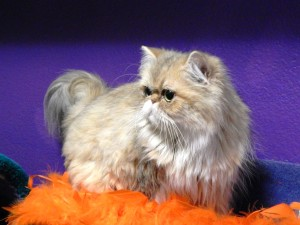 shaded-golden-persian-female