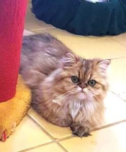 golden-persian-cat-kitten-2016