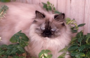 Antoinette-seal-torte-point-himalayan-persian