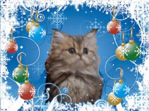 merry-christmas-from-cats-of-persia-cateline-shaded-golden-persian-kitten-available-for-sale