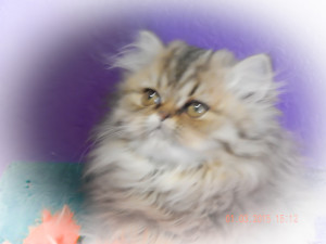 cats-of-persia-cateline-shaded-golden-Persian-female-kitten-available-for-sale