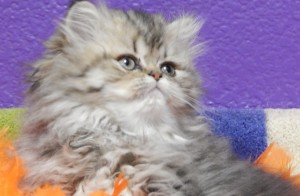 available-shaded-golden-Persian-female-kitten-for-sale