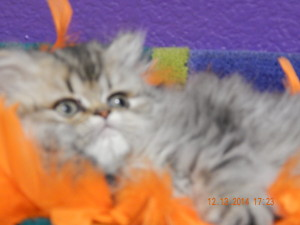available-shaded-golden-persian-kitten-for-sale