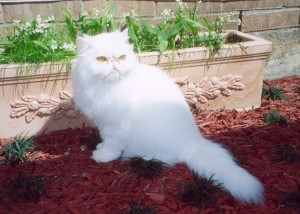 champion-crystal-copper-eyed-white-persian-cat-female