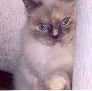 diana-blue-eyed-himalayan-persian-cat-female
