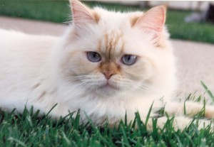 Elizabeth-blue-eyed-himalayan-cat-female