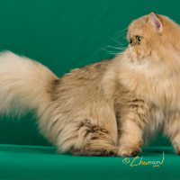 Champion Persians: Amber – Our Chinchilla Golden Persian Cat is a Premier Champion