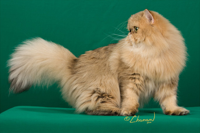 Champion-Amber-shaded-golden-persian-cat-turning-her-tail-to-the-judge