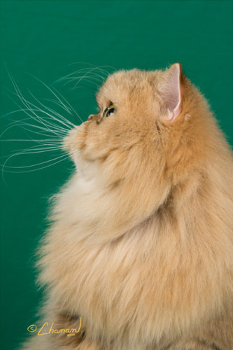 Champion-Premier-amber--shaded-golden-Persian-cat-at-a-show