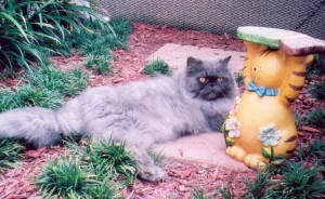 Handsome Henry Copper Eyed Blue Persian
