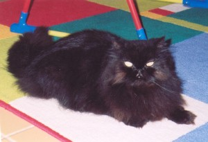 copper-eyed-black-persian-cat-male